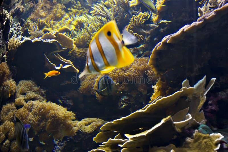 clownfish 免版税库存照片