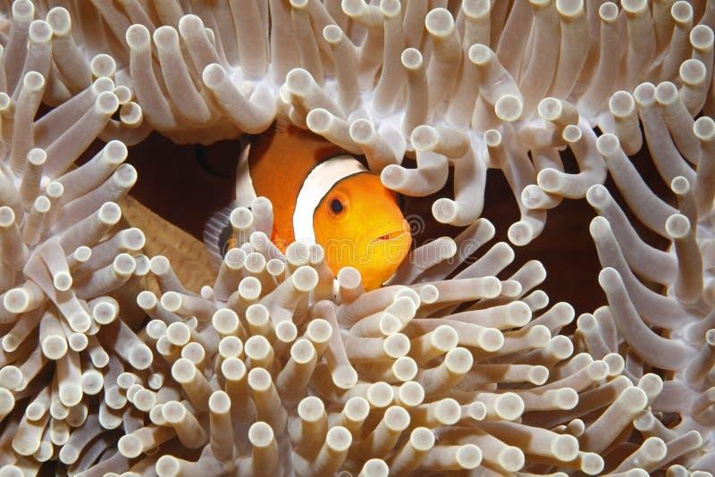 Download Clownfish stock image. Image of space, nemo, life, anemonefish - 16978375