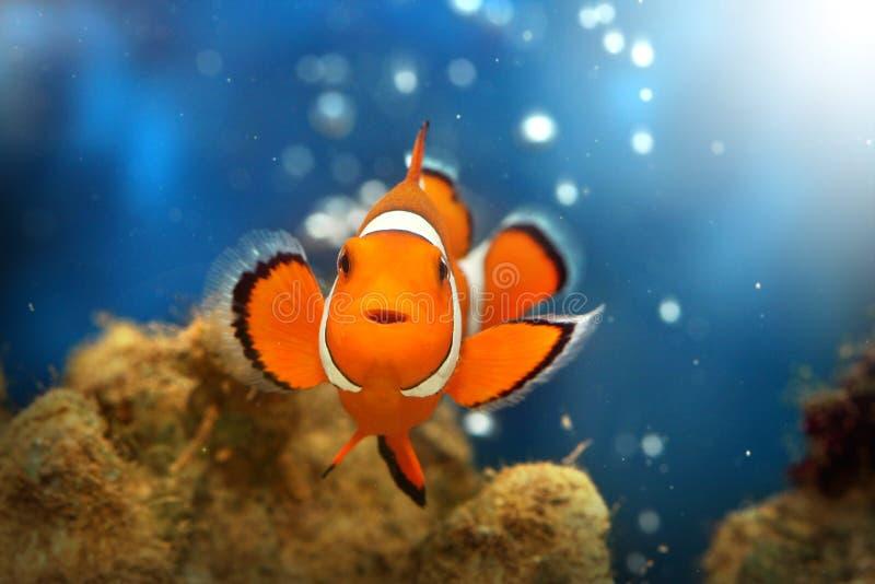 Clownfish stockfotos