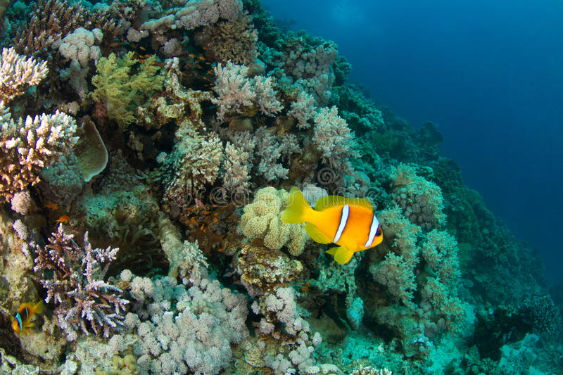 Clownfish. A clownfish in front of a beautiful coral reef royalty free stock photos