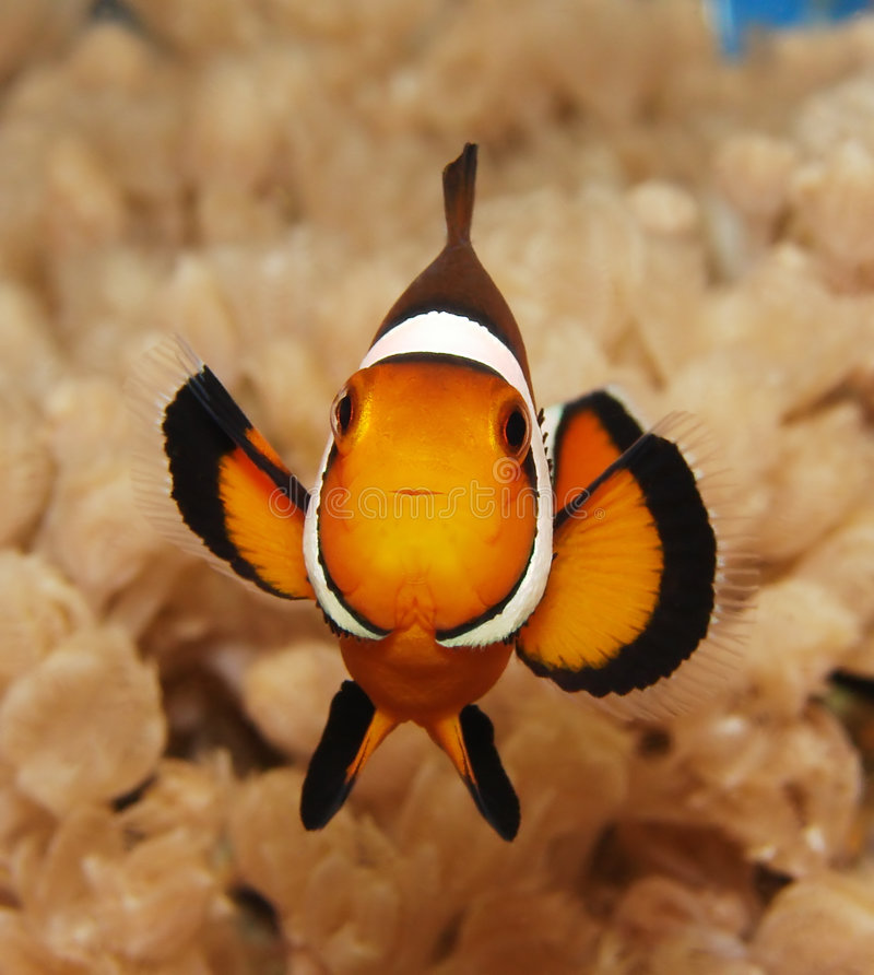 Clownfish foto de stock