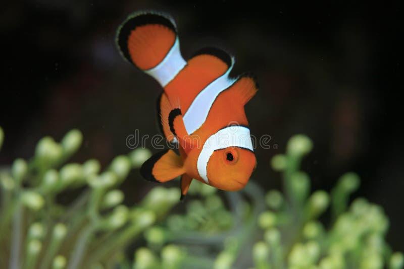 Clownfish fotos de stock royalty free