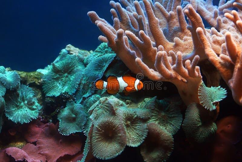 Clownfish immagine stock