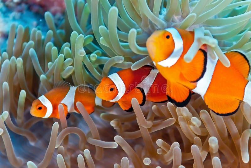 Clownfish stockfoto