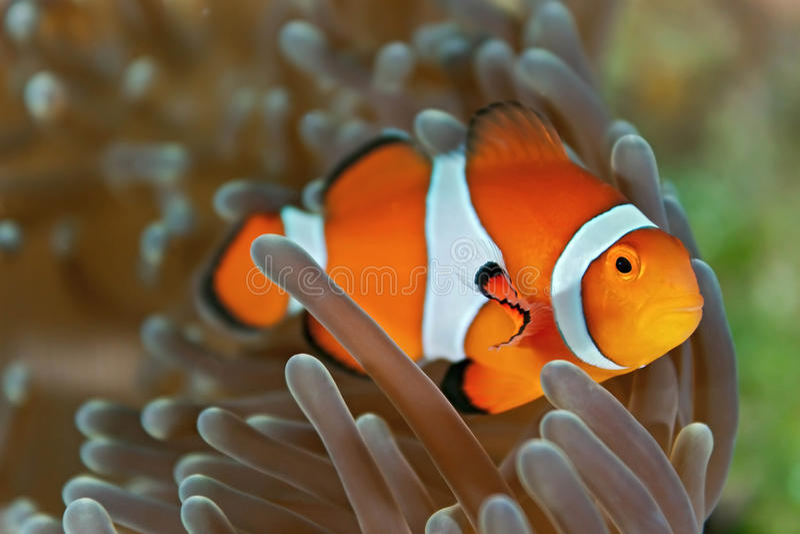 Clownfish stock afbeelding