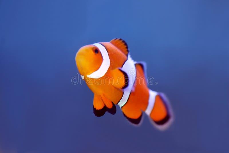 Clownfish royalty-vrije stock foto
