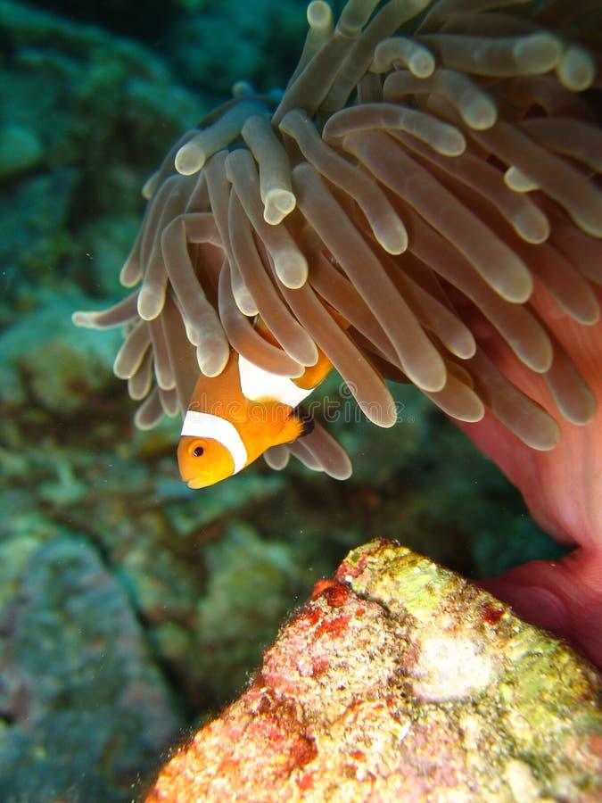 Clownfish stock foto