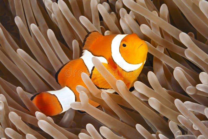 Clownfish royalty-vrije stock foto's