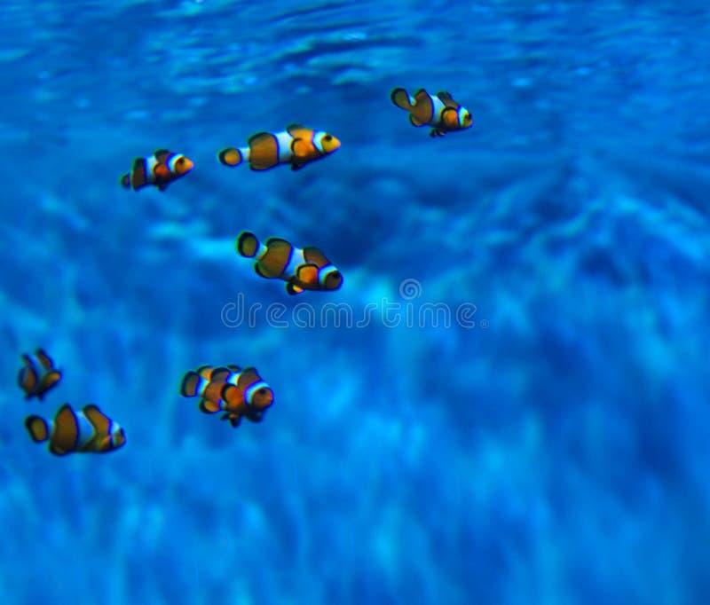 Clownfish immagini stock