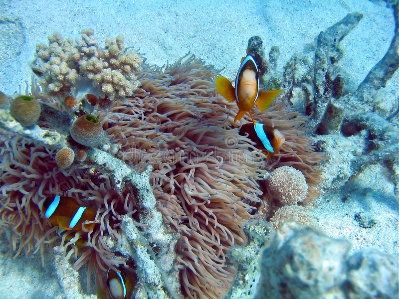 Clownfish. In anemone, Great Barrier Reef royalty free stock images