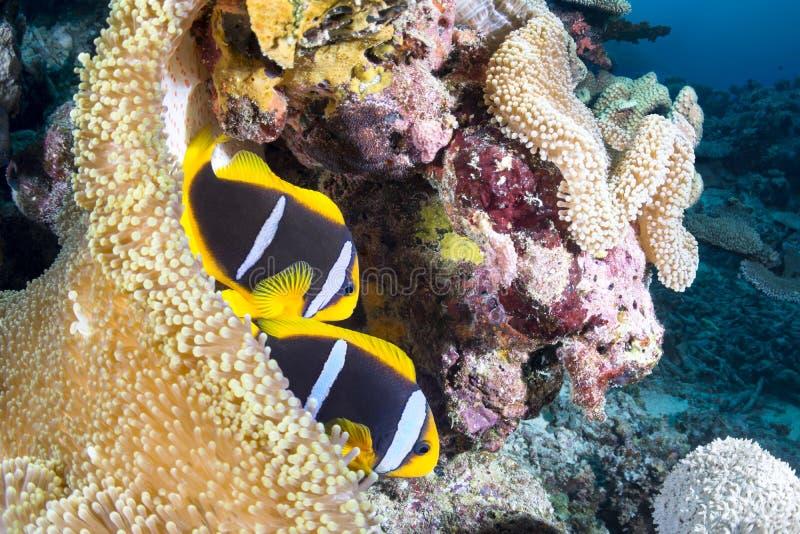 Clownfish fotografia de stock royalty free