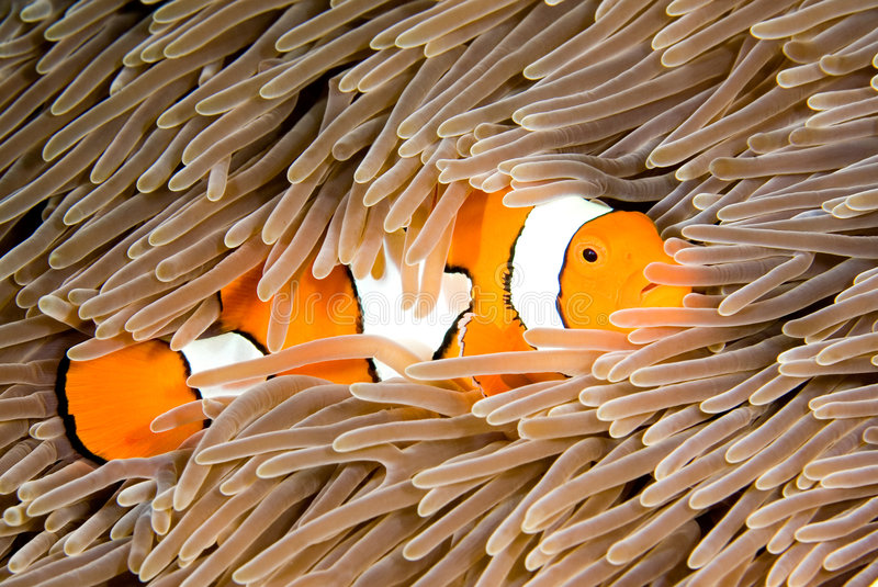 Clownfish foto de stock