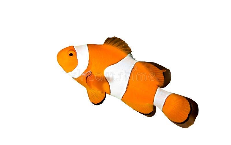 Clownfish fotos de archivo libres de regalías