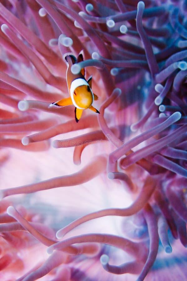 Clownfish fotografie stock libere da diritti
