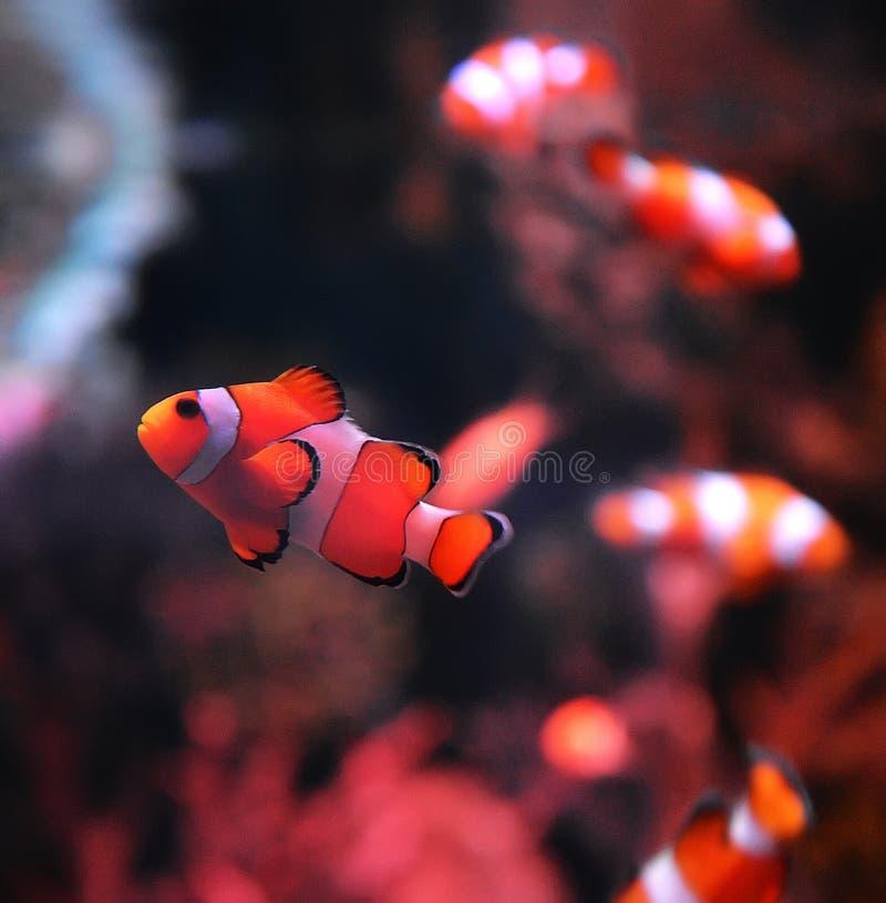 Clownfish fotografering för bildbyråer