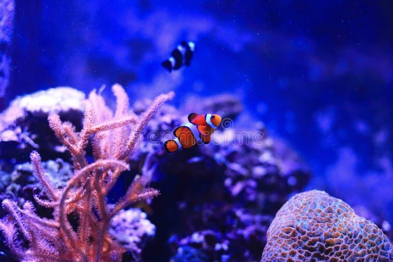 Clownfish 免版税库存图片