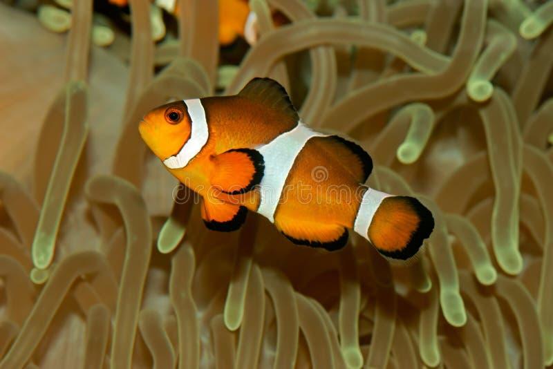 Clownfish lizenzfreie stockbilder
