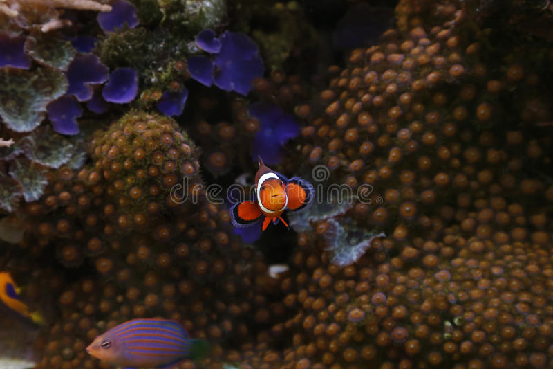 Clownfish fotografía de archivo libre de regalías