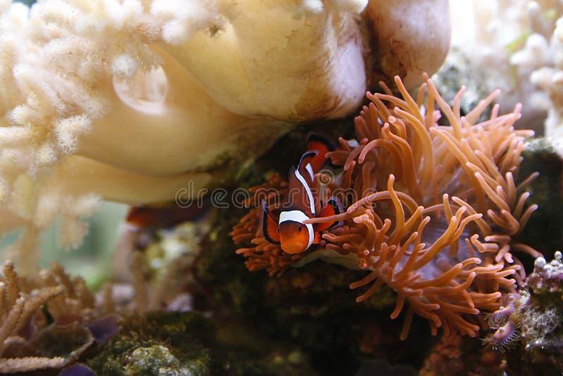 Clownfish foto de archivo