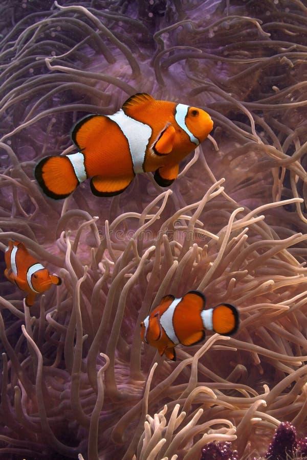 Clownfish. This is anemonefish swimming in its anemone, underwater stock photography