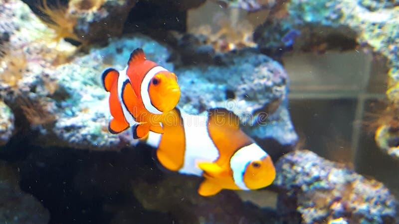 Clownfish fotografia stock