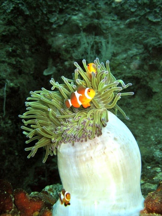Clownfish & Anemoon royalty-vrije stock fotografie