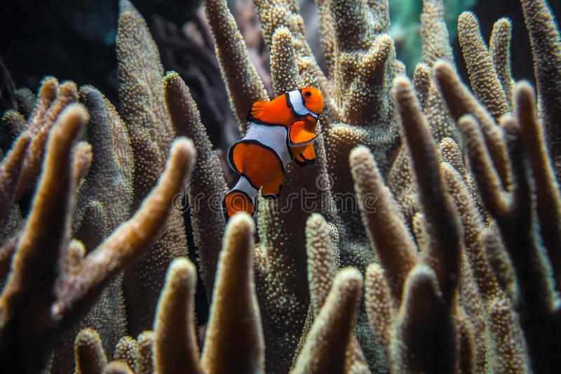 Clownfish Amphiprion ocellaris swimming stock photos