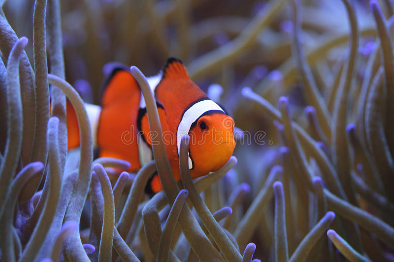 Clownfish Amphiprion percula in host sea anemone royalty free stock photography