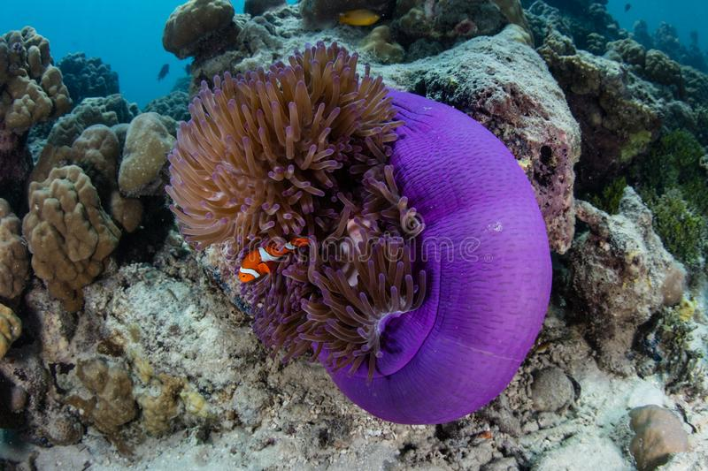 Clownfish and Purple Anemone in Papua New Guinea royalty free stock image