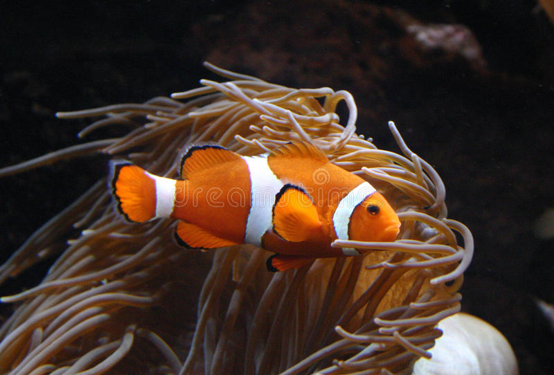 Clownfish Amphiprion sp. Swimming underwater in Oceanarium royalty free stock image