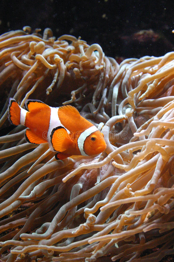 Clownfish Amphiprion sp. swimming underwater. In Oceanarium stock photo