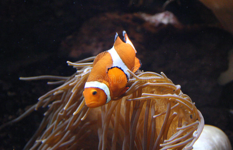 Clownfish Amphiprion sp. swimming underwater. In Oceanarium stock image