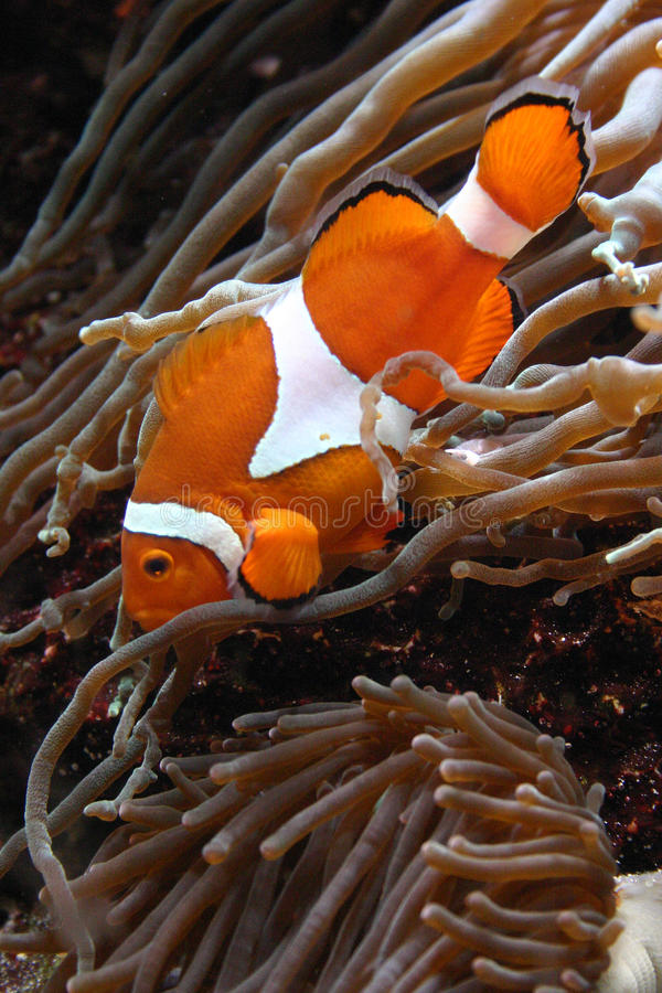 Clownfish Amphiprion sp. Swimming underwater in Oceanarium stock photos