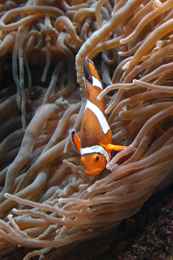 Clownfish Amphiprion sp. Swimming underwater in Oceanarium stock photo