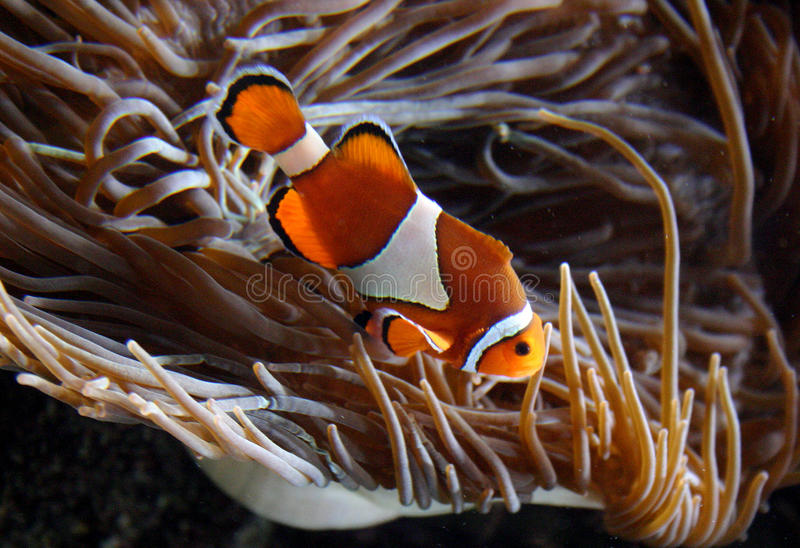 Clownfish Amphiprion sp. swimming underwater. In Oceanarium royalty free stock images