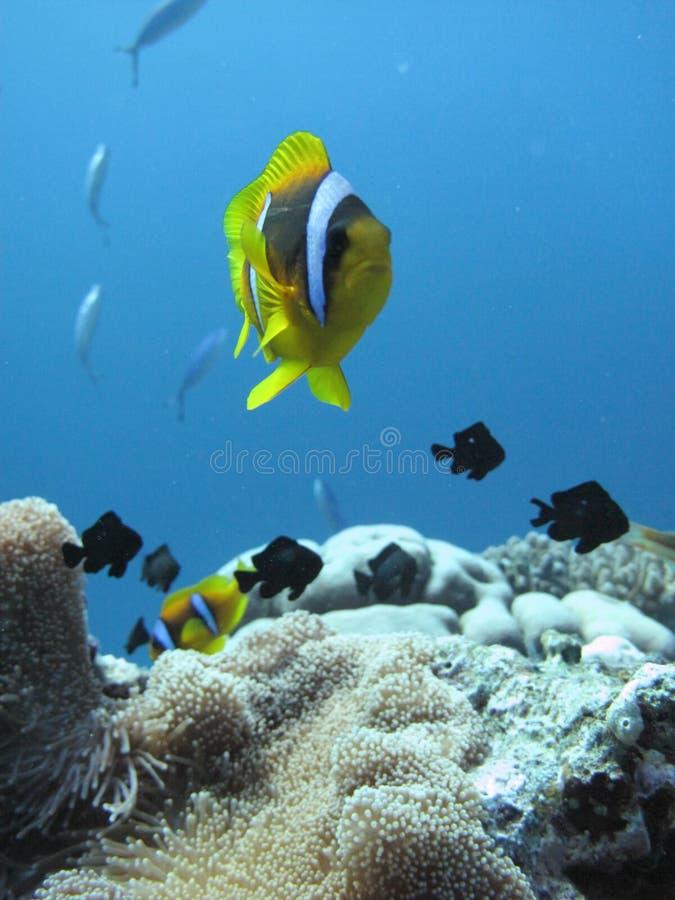 clownfish amphiprioninae在海葵旁边也叫anemonefish,在红海在离盐埠的附近海岸,沙特的 免版税图库摄影