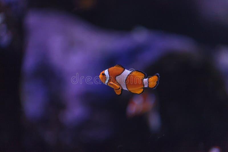 Clownfish, Amphiprioninae imagenes de archivo
