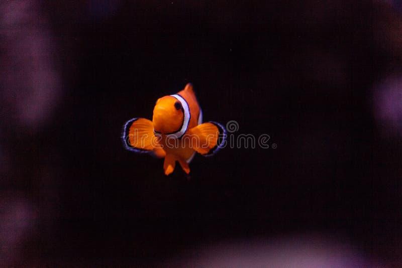 Clownfish, Amphiprioninae fotografia stock libera da diritti