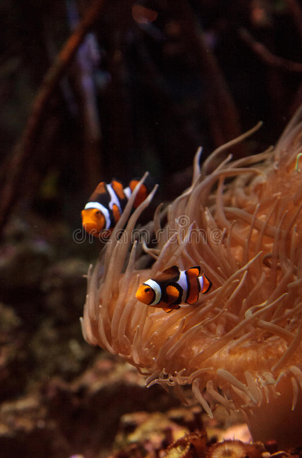 Clownfish, Amphiprioninae images stock
