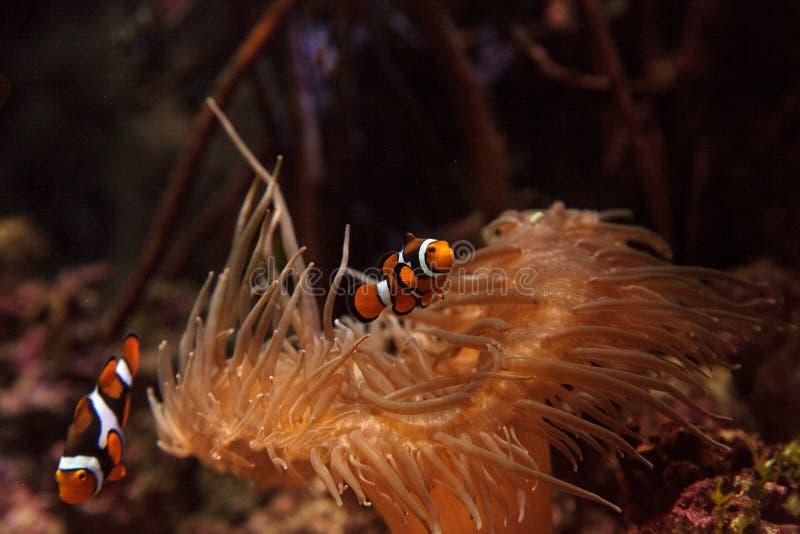 Clownfish, Amphiprioninae photo stock