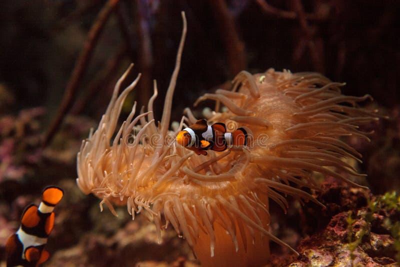 Clownfish, Amphiprioninae images libres de droits
