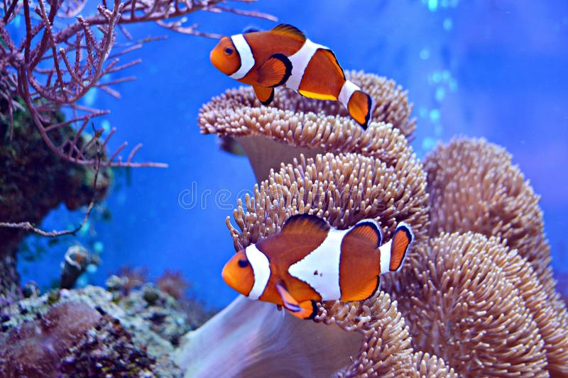 Clownfish, Amphiprioninae, in aquarium tank with reef as background royalty free stock image