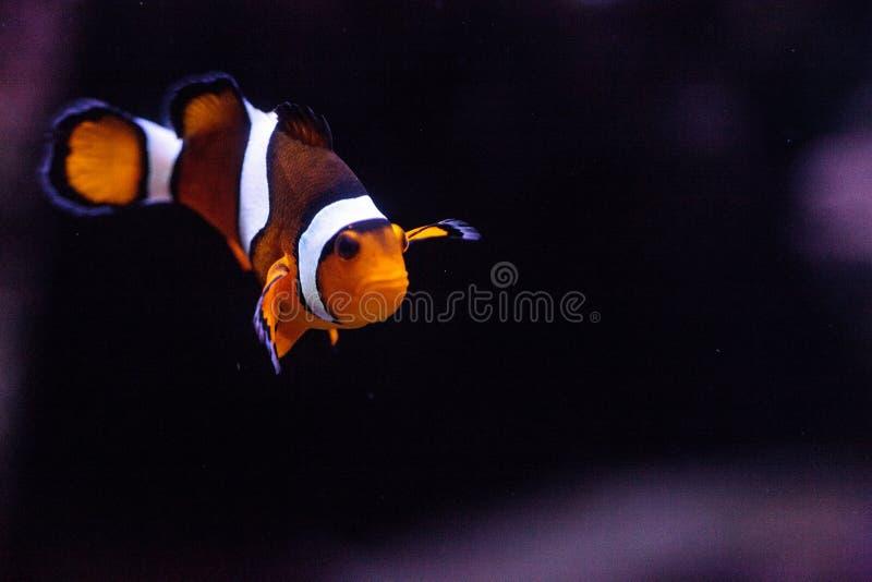 Clownfish, Amphiprioninae, in einem Meeresfisch- und Riffaquarium stockbilder