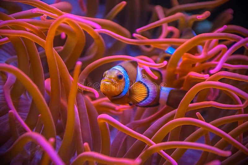 Clownfish Amphiprioninae se cachant entre les actinies image stock