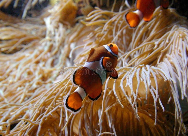 Clownfish Amphiprionsp royaltyfria foton