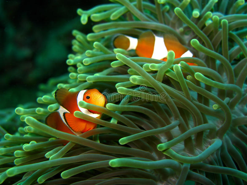 Clownfish and anemone. A pair of clownfish darting around in their anemone