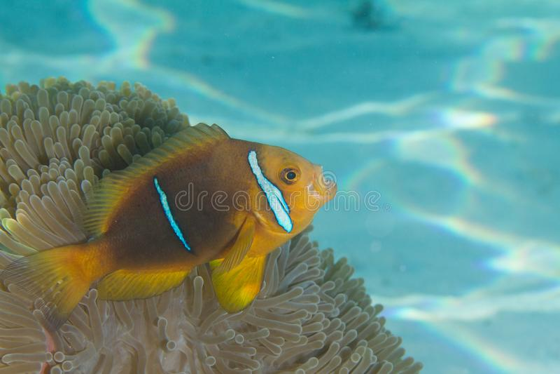 Clownfish in anemone immagine stock libera da diritti