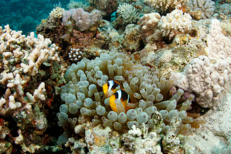 Clownfish in Anemone. Clownfish and Anemones living in a symbiosis royalty free stock photography