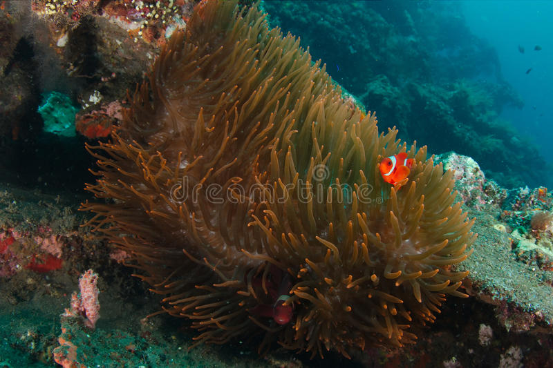 Clownfish in anemone. A clownfish sitting in an anemone in a tropical reef in Bali, Indonesia royalty free stock image