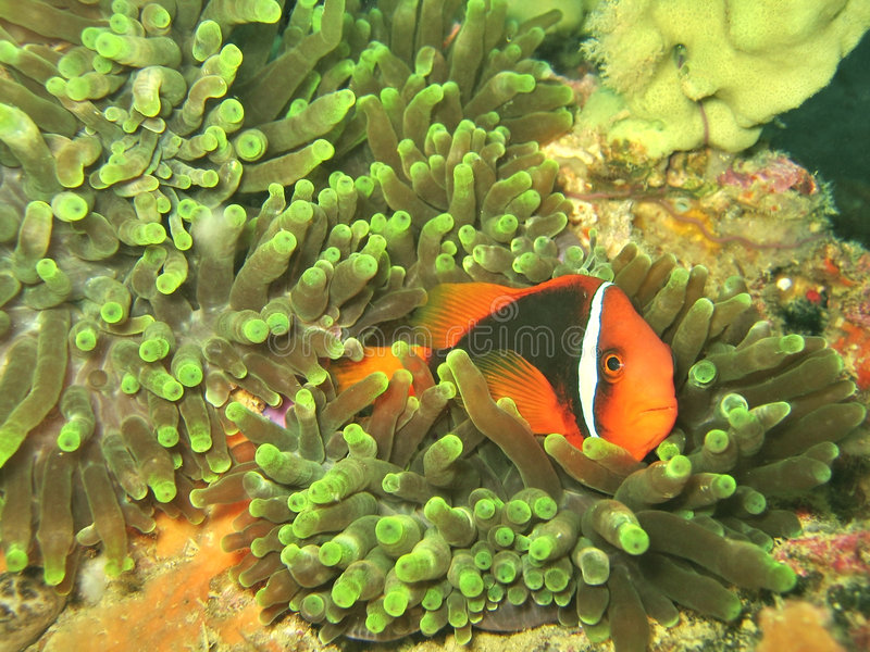 Clownfish in Anemone Coral stock photography